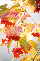 Snowball tree or Guelder Rose