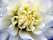 dahlia whiteyellow