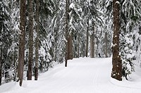 Canada, BC, Vancouver Cypress Mountain.  Nordic ski area through the coastal forest 20 minute drive from Vancouver, BC