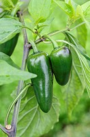 Chili pepper Capsicum annuum 'Jalastar'