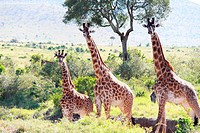 three giraffes on the grassland