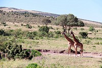 two giraffes on the grassland