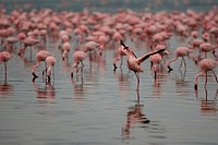 a group of flamingoes swimming in the water
