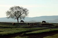 the horses eat grass on the grassland