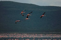 a group of flamingoes flying in the sky