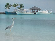 herons on the beach in Maldives