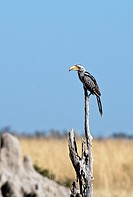 Yellow bill hornbill in Moremi National Park, Botswana
