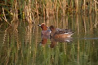 Wigeon Anas penelope Drake and female
