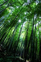 a view of the bamboo forest from a low angle shot
