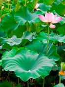 a blooming pink lotus in leaves