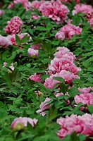 the blooming pink peony in leaves