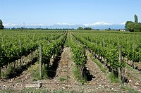 Chile. Vineyards in the Maule district and the mountains of the Andes