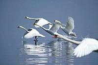 ITALY, Bracciano lake, swans