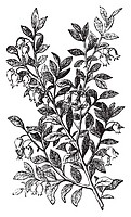 Bilberry, whortleberry or Vaccinium myrtillus engraving  Old vintage illustration of bilberry plant  Vaccinium myrtillus was voted the County flower o...