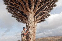 Dragon´s blood tree (Dracaena cinnabari), harvest of the red gum, dried resin is used for his medicinal and dyeing properties, Diksam, Socotra island,...