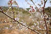 White almond tree flowers