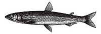 Smelt or European Smelt or Osmerus eperlanus, vintage engraving  Old engraved illustration of a Smelt
