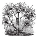 Pandanus candelabrum, vintage engraving  Old engraved illustration of Pandanus candelabrum tree