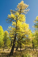 larch trees in fall in the Orkhon River Valley of Central Mongolia