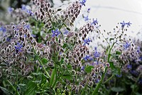 ITALY, Lazio, countryside, borage plant and flowers