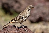 Rufous-tailed Weaver Histurgops ruficauda sitting on rock, Ngorongoro Crater, Tanzania
