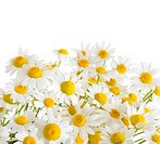 chamomile flowers isolated on white background