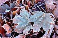Frost on the fallen leaves