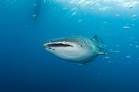 Whale Shark, Rhincodon typus, Cenderawasih Bay, West Papua, Indonesia