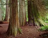 Ancient western red cedars Thuja plicata, Grove of the Patriarchs, Mt  Rainier National Park, Washington, USA