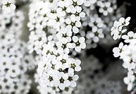 closeup of beautiful white flowers