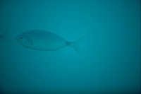 Oblada fish, soft focus and turquoise water