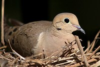 A female mourning dove sits on her nest in Southern California