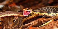 Garter Snake Thamnophis sirtalis