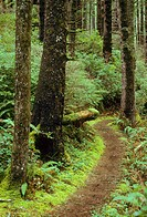 Coast Trail through Sitka spruce Picea sitchensis ancient forest, Oswald West State Park, Oregon