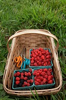 Basket of ripe blackberries and raspberries