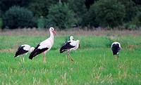 Storks in a field