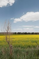 Rape flower blossom fields in Junmachang, Shandan, Zhangye, Gansu, China, Asia