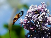 Humming bee on lilac flowers