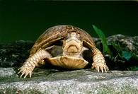 Female Common Box Turtle (Terrapene carolina) making eye contact as she walks in garden on stone pathway