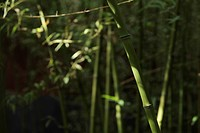 Bamboo forest with focus in foreground