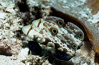 Twinspot goby Signigobius biocellatus pair feeding on sandy bottom  Raja Ampat, West Papua, Indonesia