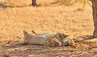 Two male African lions Panthera leo sleeping in the Kalahari desert, Kgalagadi Transfrontier Park, South Africa