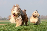 Havenese and Bearded Collie / Bichon Havanais, Bichon Habanero