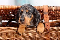 Smooth_haired Dachshund, puppy, dappled / wicker case