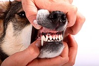 Mixed Breed Dog, checking teeth