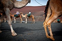 Camels in Timanfaya Volcanoe National Park in Lanzarote, Canary Islands, Spain