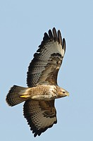 Common Buzzard, Lower Saxony, Germany / Buteo buteo