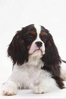 Cavalier King Charles Spaniel, puppy, tricolour, 5 months