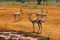 Grant´s gazelle Gazella granti, Tsavo East National Park, Kenya, East Africa, Africa