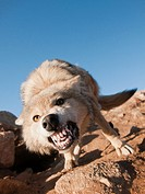 wild snarling wolf canis lupis in the Altai Region of Bayan-Ölgii in Western Mongolia